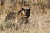 Autumn Grizzly Bear