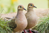 Mourning Doves (Zeaida Macroura) Pair