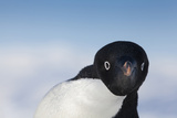 Cape Washington  Antarctica Adelie Penguin Looking at the Camera