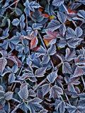 USA  Oregon Frost on Wild Blackberry Bush