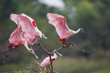 Roseate Spoonbill (Ajaia Ajaja) Landing on Perch at High Island  Texas