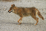 Coyote at Badwater Basin  Death Valley NP  Mojave Desert  California