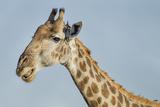 Botswana  Moremi Reserve  Giraffe Baring Teeth in Imitation of a Grin