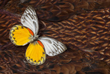 Delias Butterfly on Cooper Pheasant Feather Design