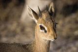 Etosha National Park  Namibia Close-up View of a Kirk's Dik-Dik