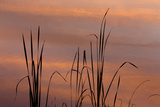 Tennessee  Falls Creek Falls State Park Sunrise on Cattails in Lake