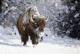 Wapiti, Wyoming. Usa. Bison Walking in the Snow Papier Photo par Janet Muir
