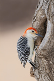 Red-Bellied Woodpecker Hunting for Invertebrates
