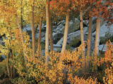 California  Sierra Nevada  Autumn Colors of Aspen Trees in Inyo NF