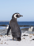 Magellanic Penguin on Beach Falkland Islands