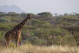 Kenya  Laikipia  Il Ngwesi  Reticulated Giraffe in the Bush