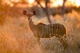 Botswana  Chobe NP  Greater Kudu Standing in Savuti Marsh at Sunrise