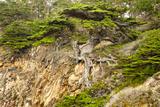 Old Veteran Monterey Cypress Tree at Pt Lobos State Reserve