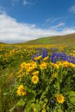 Washington  Columbia Hills SP Spring Wildflowers at Columbia Hills SP