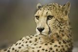 Livingstone  Zambia  Africa Cheetah