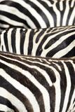 Kenya  Amboseli National Park  Close Up on Zebra Stripes