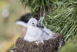 Black-Browed Albatross Chick on Tower Shaped Nest Falkland Islands