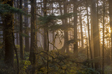 Sunset Rays Penetrate the Forest at Heceta Head  Siuslaw NF  Oregon