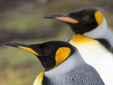 King Penguin  Falkland Islands  South Atlantic Portrait