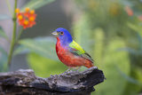 Painted Bunting (Passerina Ciris) Male Perched