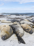 Southern Elephant Seal Males on Sandy Beach  Falkland Islands