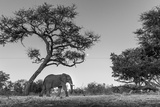 Botswana  Moremi Game Reserve  African Elephant at Moonrise