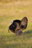 Wild Turkey (Meleagris Gallopavo) Males Strutting