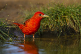 Summer Tanager (Piranga Rubra) Male Bathing