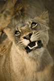 Livingston  Zambia the Face of a Female Lioness While Mating