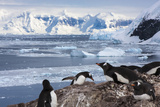 Lemaire Channel  Antarctica Gentoo Penguin Colony