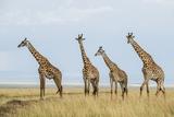 Kenya  Maasai Mara  Mara Triangle  Mara River Basin  Maasai Giraffe