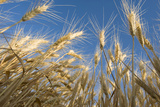 Ripening Heads of Soft White Wheat  Palouse Region of Washington