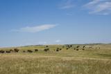 Portrait of American Bison Grazing in the Grasslands  North Dakota