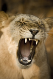 Livingstone  Zambia  Africa Lioness Calling Out