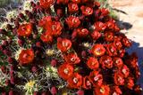 Claretcup Cactus (Echinocereus Triglochidiatus) in Bloom