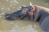 Kenya  Maasai Mara  Mara Triangle  Hippopotamus in Mara River