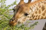 South Londolozi Reserve Close-up of Giraffe Feeding on Acacia Leaves