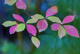 USA  Oregon  Rogue River Wilderness Wild Dogwood Leaves in Autumn