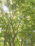 USA  Washington State  Seattle Sun Shining Through Maple Trees