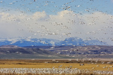 Snow Geese During Spring Migration at Freezeout Lake  Montana  USA