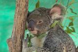 Australia  Queensland  Townsville Billabong Sanctuary Koala  Captive