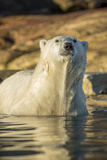 Canada  Nunavut  Polar Bear Wading into Shallow Water of Hudson Bay