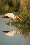 Botswana  Moremi Game Reserve  Yellow Billed Stork Captures Small Frog