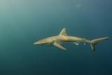 Bronze Whaler Shark  Sardine Run  Eastern Cape  South Africa