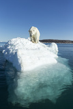 Canada  Nunavut Territory  Polar Bear on an Iceberg in Hudson Bay