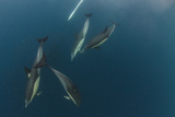 Dolphin and Cape Gannet at Sardine Run  Eastern Cape  South Africa