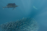Sailfish and Bronze Whaler Shark Feeding  Eastern Cape  South Africa