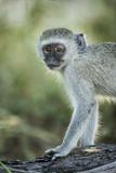 Botswana  Moremi Game Reserve  Vervet Monkey Standing on Tree Trunk