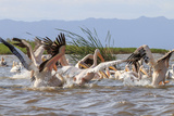 White Pelicans Lake Chamo Ethiopia  Africa