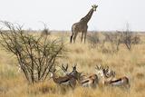 Namibia  Etosha National Park Giraffe and Springboks